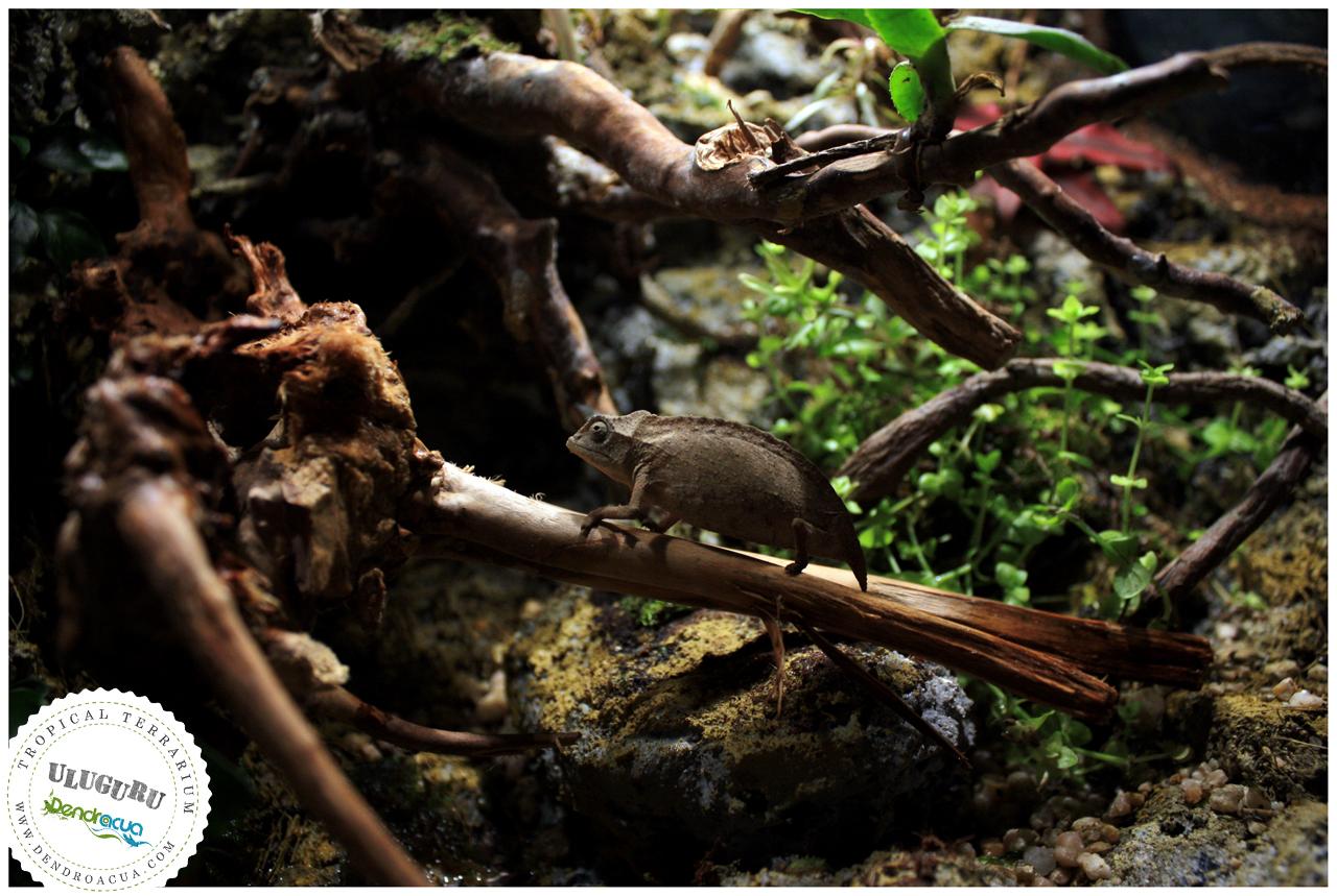 terrario-camaleon-a-medida-dendroacua-uluguru-2