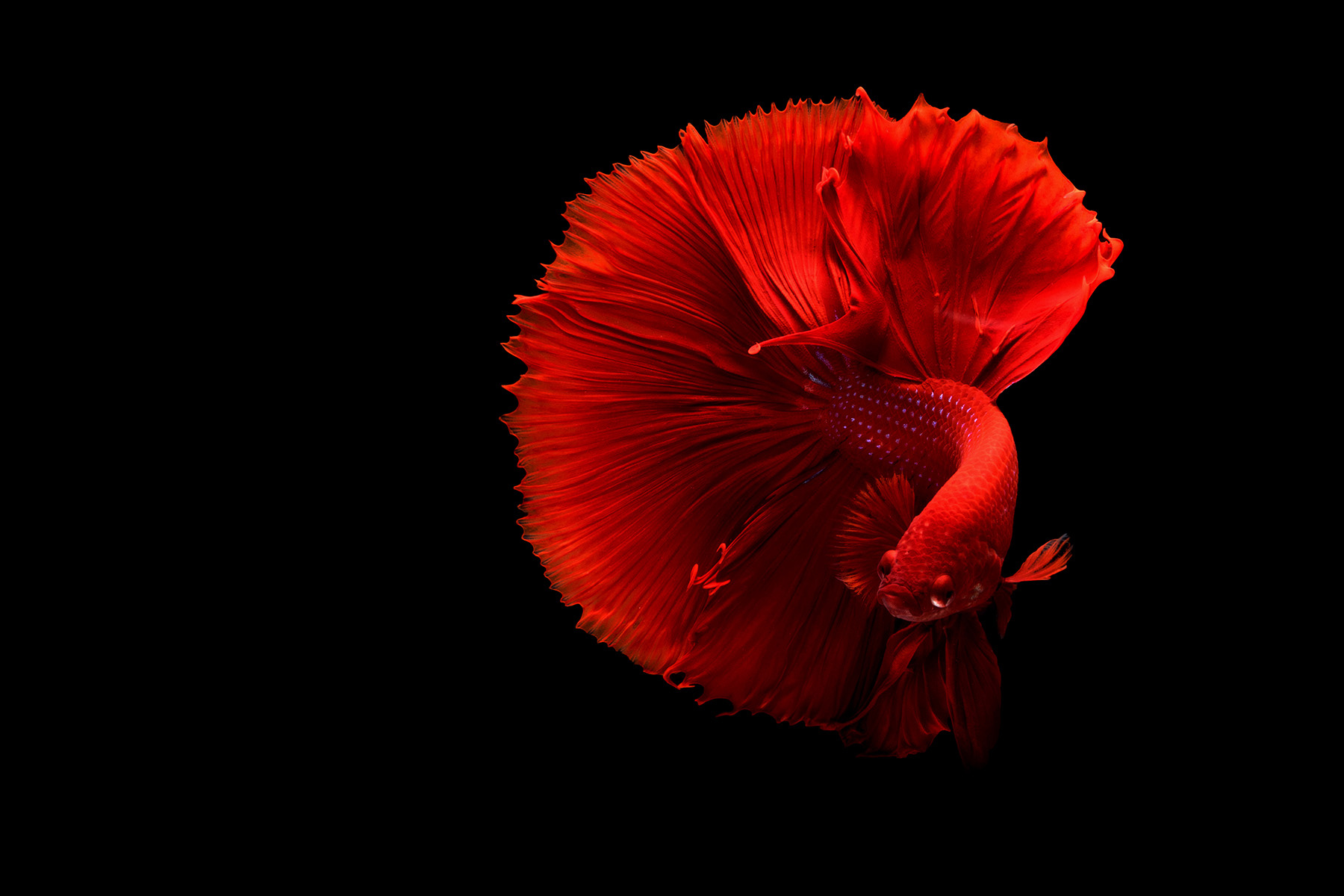 BETTA-DENDROACUA