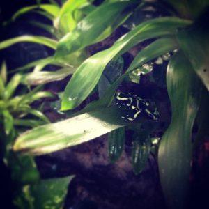Poco a poco esta pequea Dendrobate auratus va perdiendo suhellip