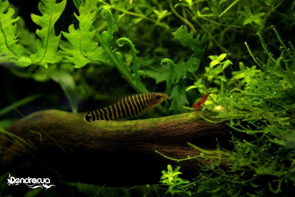 retiro-yunnanilus-cruciatus